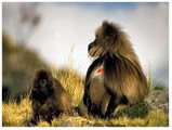 chilada baboon-simien mountain national park