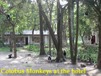 Colobus Monkeys at the hotel